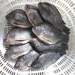 Good Price Fish Frozen Tilapia GS Gutted And Scaled