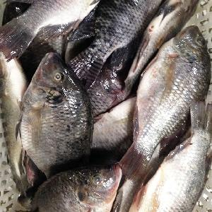 FROZEN BLACK TILAPIA and RED TILAPIA FISH WHOLE ROUND