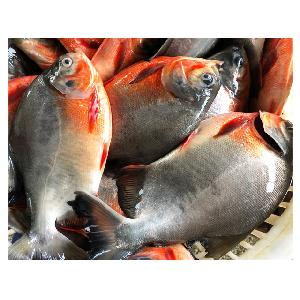 Frozen  Whole   Round   Red  Pomfret/ Pacu  Fish  For Sale