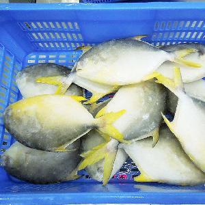 Purely Natural Sea Caught Fresh Frozen Whole Golden Pompano Fish