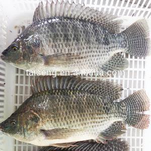 Sea Food WR Tilapia Black Tilapia Fish