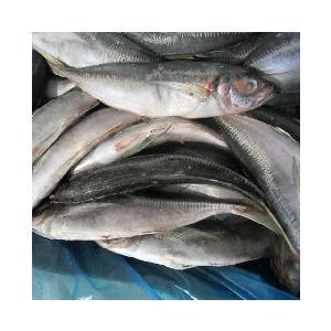 great quality 6pcs/kg  frozen   horse   mackerel   price