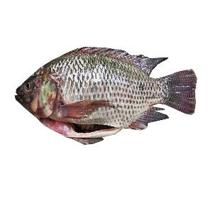 High Quality Frozen Gutted scaled Whole Tilapia for Sale