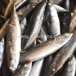 Whole Round Frozen Bonito Tuna Fish