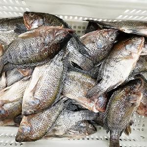 Competitive price Frozen Farm Fish whole round WR Tilapia Fish