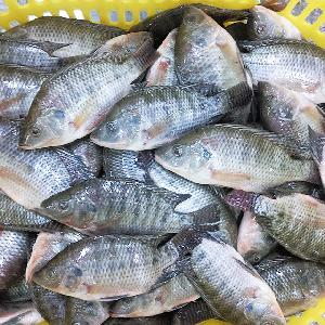 China seafood exporter frozen tilapia whole round price