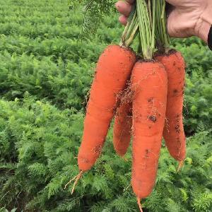 Hybrid   vegetable   seeds  carrot  seeds  for sale