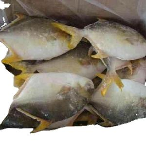 High Quality New Caught Fresh Frozen Whole  Round  Golden Pomfret