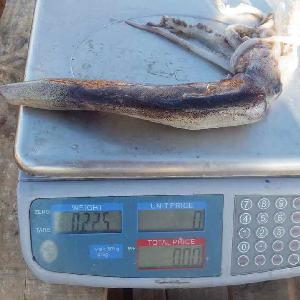 Illex Squid Whole Round China Seafood 300-400
