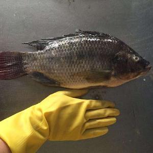 Wholesale BQF Frozen Fish Tilapia On Sale