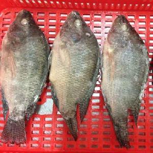 Frozen Tilapia Whole Round Black Tilapia China Seafood