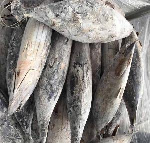 Good Price Frozen Skipjack Tuna For Can