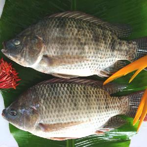 Wholesale Good Price Frozen  Tilapia  GS  Gutted   Scaled   Tilapia