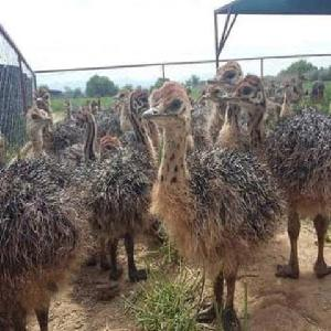 RED AND BLACK NECK OSTRICH CHICKS FOR SALE