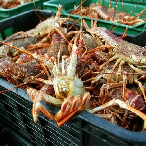 Live maine lobster from Denmark