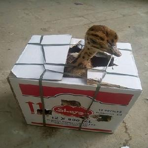 well raised Ostrich Chicks and eggs for sale