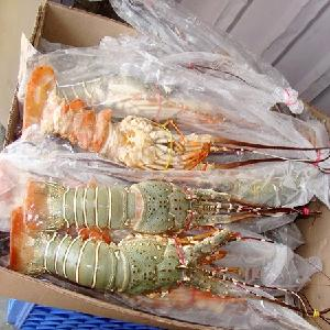 lobster/Live maine lobster Canadian / European Lobsters