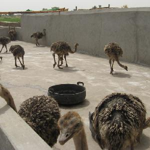 Red and Black Neck Ostrich Chicks