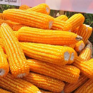 Yellow  Corn and White Corn/  Yellow   Maize  for Animal Feed or Human consumption FOR SALE