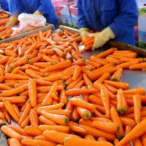 Свежая морковь для продажи
