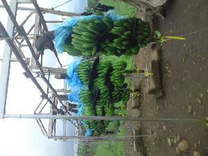 Classic Banana