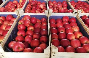 South Africa high quality wholesale royal gala fresh apple