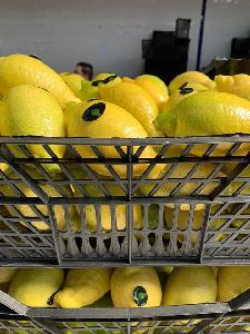 Оптовая продажа оптом Эврика желтый свежий лимон