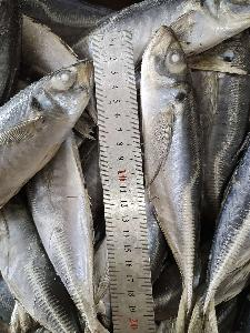 Seafrozen Horse mackerel WR 20cm+, 18cm+, 16cm+, 14cm+