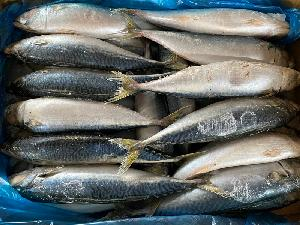 Cheap  Price  Frozen  Pacific Mackerel Whole Round All Size