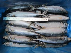 Best Price Frozen Fish Whole Round WR Mackerel Fish For Canned  Food