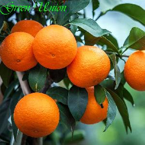 China  fresh  baby mandarine small orange