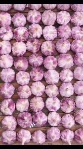 China  purple garlic new breed garlic bulbs  export