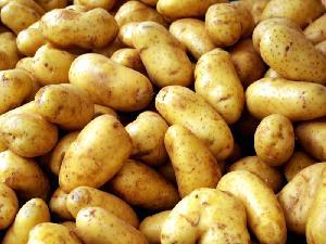 Wholesale  fresh  potatoes United Kingdom supplier.