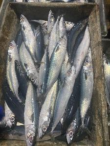 2020 Frozen pacific mackerel WR 200-300g/pc