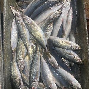 2020 frozen  horse  mackerel 20cm+/pc