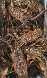 Живой Карибский Колючий омар (Panulirus?аргус)