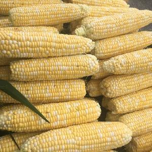 Yellow Corn & White Corn Maize for Human & Animal Feed/Dried Yellow Corn/Popcorn/Crude Corn Oil