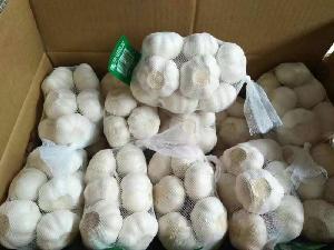 fresh garlics available
