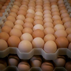 Broiler Hatching Eggs Cobb 500 and Ross 308 / broiler chicken eggs