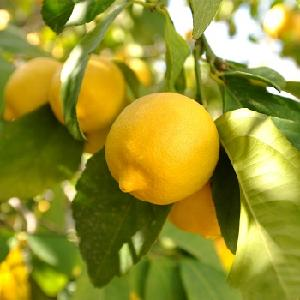 Fresh  Eureka  Lemon s
