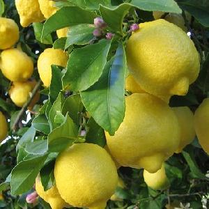 Eureka Lemons from South Africa