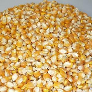 YELLOW CORN GRADE #2 GMO