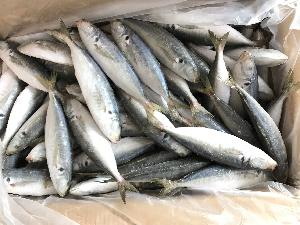 Blue mackerel-decapterus maruadsi