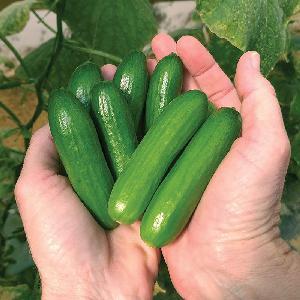 Cucumbers and Gherkins FRESH