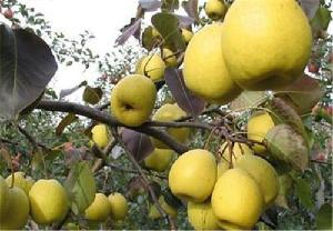 Fresh Pear Top Quality Export price Sweet Fresh