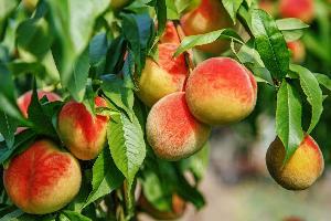 ORGANIC HEIRLOOM ENGLISH BLUSH Dwarf Peach Tree SEED Sweet Peaches Fruit