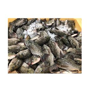 Frozen Sea Food Whole Round Red Tilapia