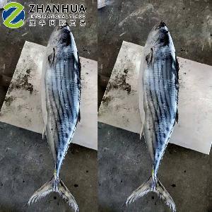 Frozen Fish Striped Bonito (Sarda Orientalis)