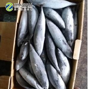 Frozen Fish Bonito Tuna (Euthynnus Affinis)