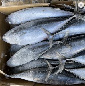 Frozen bonito fish on sale